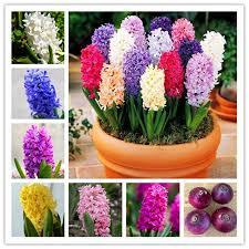 Fragrant Plants For Pots - aliexpress com buy 1pcs true hyacinth bulbs water hyacinth