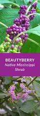 kansas native plants beautyberry is a mississippi perennial native shrub with small