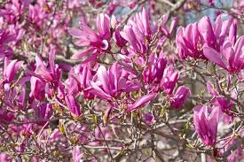 tree with purple flowers magnolia