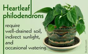 get to know how to grow and care for heartleaf philodendron