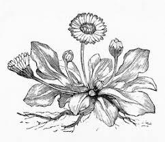 dandelion drawing reusableart com