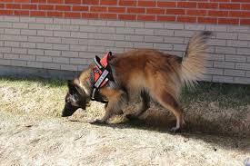 belgian sheepdog breeders in canada big mountain belgians home facebook