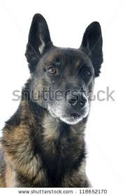 belgian sheepdog pups belgian malinois dog stock images royalty free images u0026 vectors