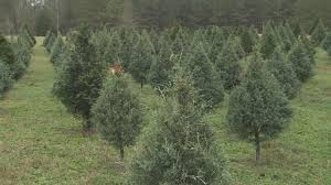 n c christmas tree farms offer packages where you can choose cut