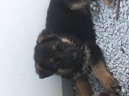 belgian shepherd kentucky akc registered german shepherd pups in hoobly classifieds