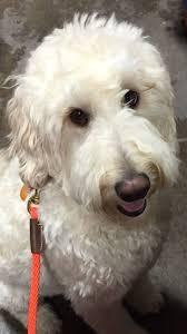 17 best images about sadie 17 best goldendoodle sophie and sadie images on pinterest sadie
