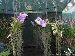vanda orchid these are vanda orchids and grow great outside on trees if they