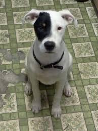 american pitbull terrier dalmatian mix alaska the rottweiler american pit bull terrier mix allmutt com