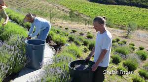 sunhawk farms lavender labyrinth and harvest youtube