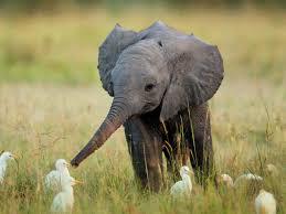 cutest baby elephant with ducks imgur