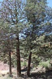 arizona cypress a majestic tree a majestic medicine mold and