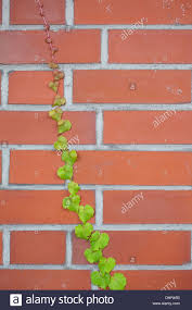 climbing plant wall stock photos u0026 climbing plant wall stock