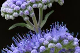 Bluebeard Flower - caryopteris focus on flowers indiana public media