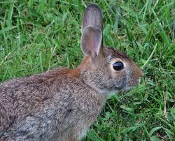 the world u0027s best photos of easterncottontail and floridanus
