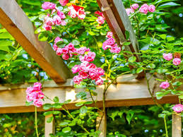 how to grow rambling roses saga