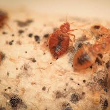 bed bug extermination removal pest control and extermination