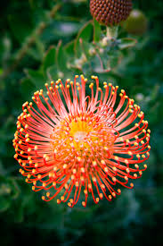 protea flower 13 stunning protea flowers sunset magazine