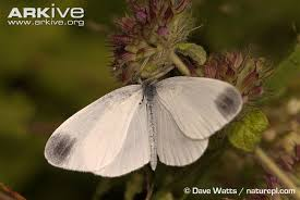 wood white butterfly photos and facts leptidea sinapis