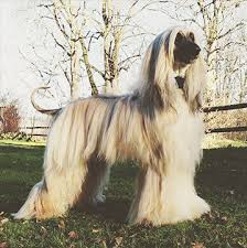 does an afghan hound shed the 16 breeds that are the hardest to potty train