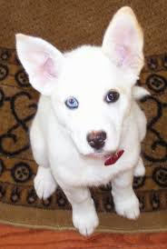 australian shepherd x pitbull 7 facts about pitbull u0026 husky mix a k a pitsky animalso