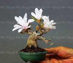 10pcs bonsai magnolia seed mini magnolia tree seeds magnolia