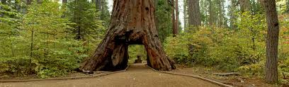 iconic sequoia tunnel tree brought by california