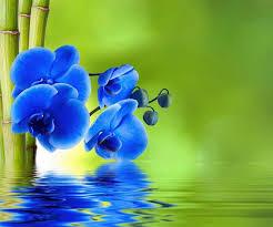 Blue Orchid Flower - blue orchids orchids pinterest flowers