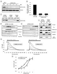 β dystroglycan binds caveolin 1 in smooth muscle a functional