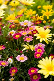 Spring Flower Pictures 7 Best Garden Images On Pinterest Flowers Daisy Flowers And Spring