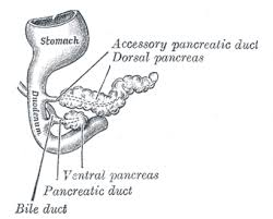 Anatomy And Physiology Of The Pancreas The Pancreas Human Anatomy