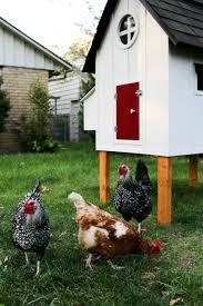common misconceptions of backyard chicken raising