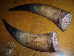 horns for sale cow horn and animal horn for sale buy cattle horns