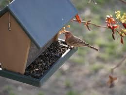 backyard birds of the south okanagan u2013 backwoods mama
