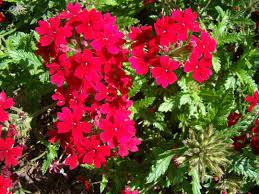 verbena flower how to care for verbena flowers garden guides