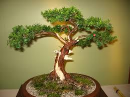 chinese yew bonsai care