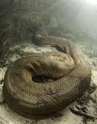 film ular phyton wow ngeri 7 ular terbesar di dunia raksasa saat ini sejujurnya com