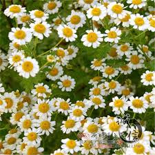 best wholesale quality herbal flower seeds chamomile seeds