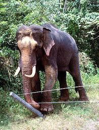 asian elephant ring holder images What pulls sri lankan elephants to the critically endangered jpg