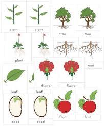 montessori tree printable 16 best montessori flowers study images on pinterest science