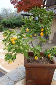 159 best container gardening images on pinterest plants trees