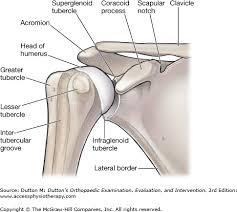 Supraglenoid Tubercle Chapter 16 The Shoulder Dutton U0027s Orthopaedic Examination