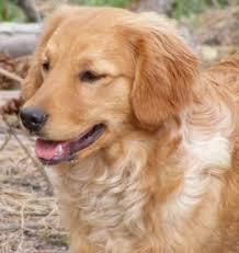 Comfort Golden Retriever Breeders Miniature Golden Retriever Dog Breed Information And Pictures