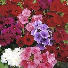 Phlox Flower Phlox Varieties Thompson U0026 Morgan
