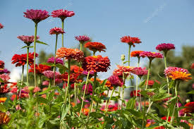 Zinnias Flowers Zinnias Flowers U2014 Stock Photo Kostphoto 12321085