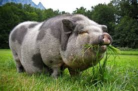 what do pot bellied pigs eat feeding pigs