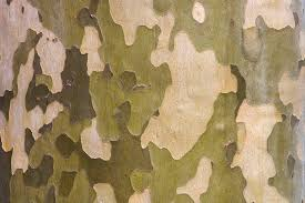 how to identify common american sycamore