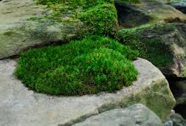 Plants That Dont Need Sunlight by The Truth About Moss U2013 Dispelling Moss Myths Moss And Stone Gardens