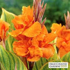 cana lilly canna pretoria bulbs canna indica high country gardens