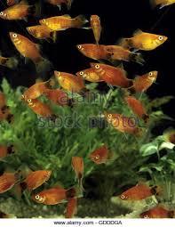platy fish stock photos platy fish stock images alamy