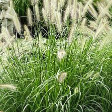 onlineplantcenter 1 gal hameln dwarf fountain grass g006cl the